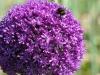 Allium 'Ambassador'