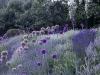 Allium und Lavendel