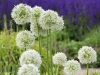 Allium 'Mount Everest