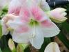 Amaryllis 'Rosy Star'
