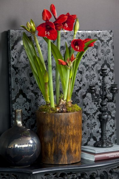 amaryllis im topf zwiebelhaft. Black Bedroom Furniture Sets. Home Design Ideas