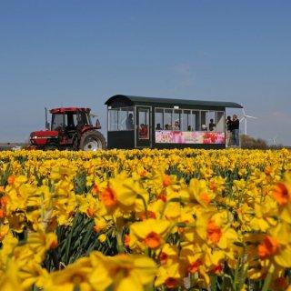 Mit der Blumenzwiebelbahn durch Narzissenfelder