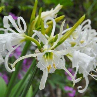 Hymenocallis festalis 'Zwanenburg'