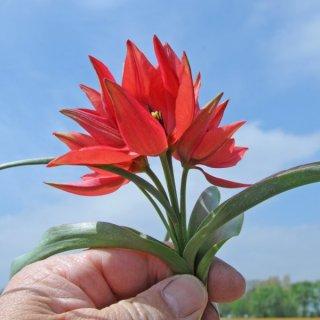Tulpe 'Fenna'