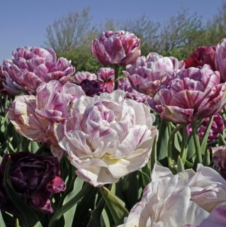 Päonienblütige Tulpe 'Ragebol'