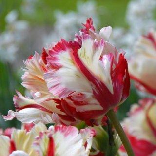 Tulpe 'Flaming Parrot'