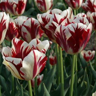 Tulpe 'Grand Perfection'