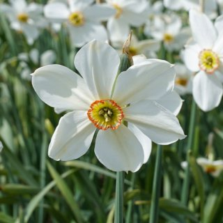 Narzisse 'Glory of Lisse'