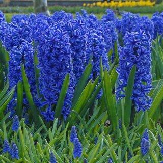 Hyazinthe 'Blue Jackett'