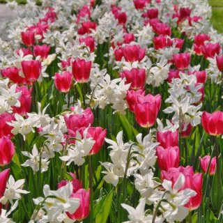 Pinkfarbene Tulpen mit weißen Narzissen