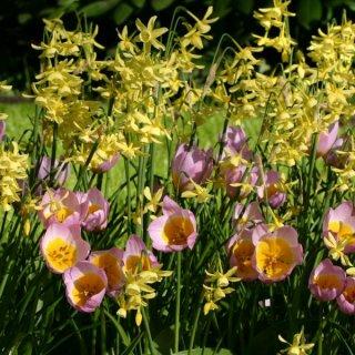Tulipa bakeri 'Lilac Wonder' mit der Narzisse 'Hawera'