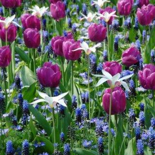 Muscari latifolium den Tulpen 'Negrita' und 'Lady Jane'