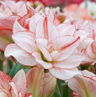 Amaryllis 'Amadeus Striped'