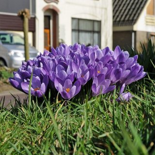 Crocus vernus 'Grand Maitre'