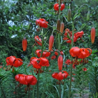 Lilium pumilum