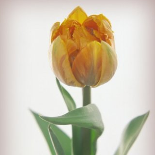 Geflammte Tulpe