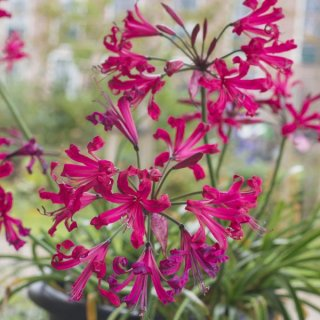 Nerine 'Mr John'