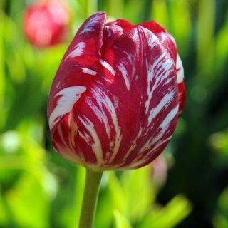 Rembrandt-Tulpe