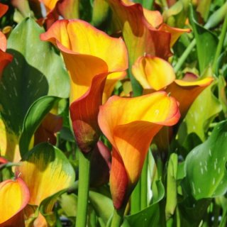 Zantedeschia 'Royal Pumpkin'