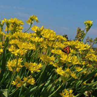 Allium 'Jeannine'