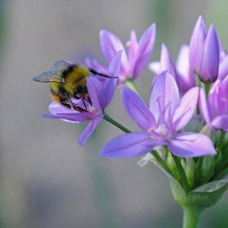 Allium unifolium 'Eros'