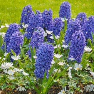 Hyazinthe 'Blue Jackett' mit Anemone blanda 'White Splendour'