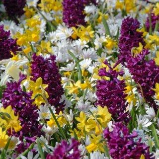 Anemone blanda 'White Splendour' mit Hyazinthen