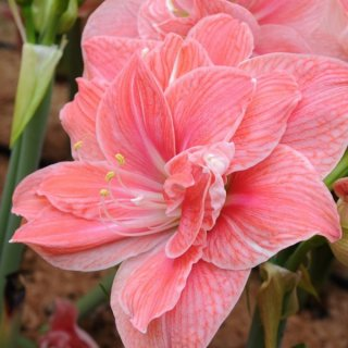 Amaryllis 'Sweet Nymph'