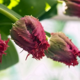 efransten Tulpen