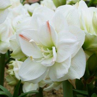 Amaryllis  'Amadeus White'
