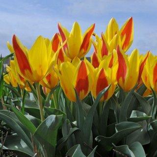 Tulipa tsimganica