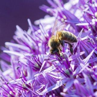 Insektenweide Allium