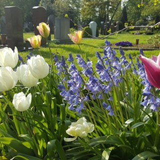 Tulpen auf dem Friedhof