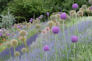 Zierlauch und Downderry Lavendel