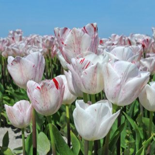 Tulpe 'One Direction'