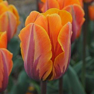 Tulpe 'Prinses Irene'