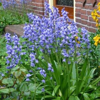 Hyacinthoides hispanica 'Excelsior'