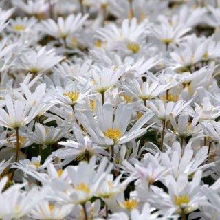 Anemone blanda 'White Splendour'