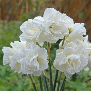 Narzisse 'Rose of May'