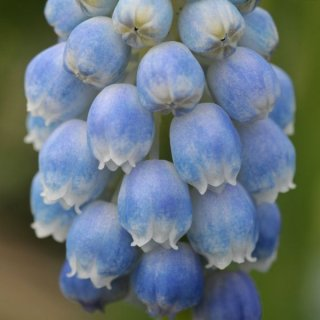 Muscari armeniacum 'Peppermint'
