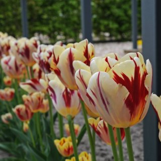 Rembrandt-Tulpe 'Grand Perfection'