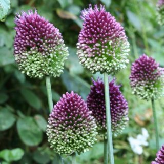 Allium 'Drumsticks'