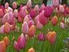 Tulpenmischung