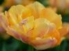 Tulpe 'Peach Melba'