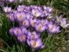 Krokusinsel mit violetten Blüten
