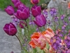 Tulpe 'Negrita'
