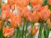 Tulpe 'Disneyland Paris'