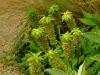 Schopflilien