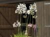 Agapanthus, Lilien, Dahlien und Calla